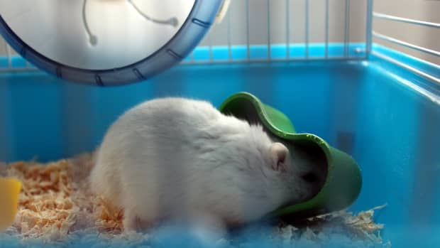hamster-everything-you-need-to-know-before-adopting-it