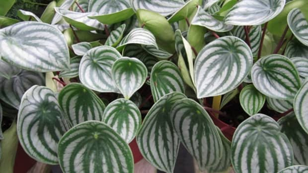 plant-mamas-care-tips-for-watermelon-peperomia