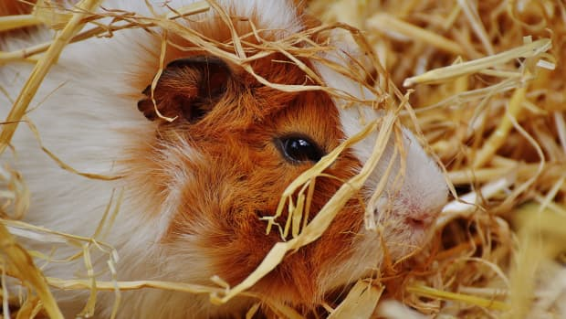 how-to-care-for-your-guinea-pig-a-beginners-guide-guinea-pig-care