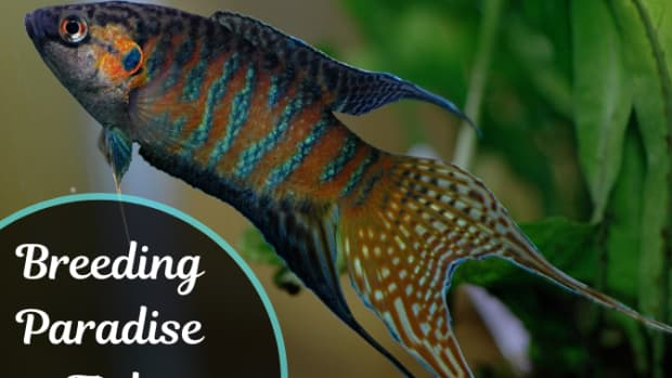 breeding-paradise-fish