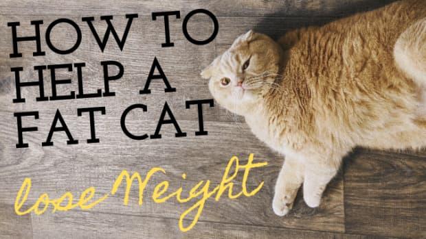 how-to-help-indoor-cats-lose-weight