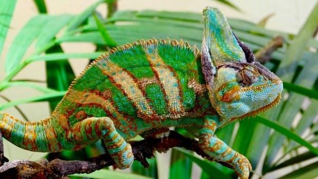 taking-care-of-a-veiled-chameleon