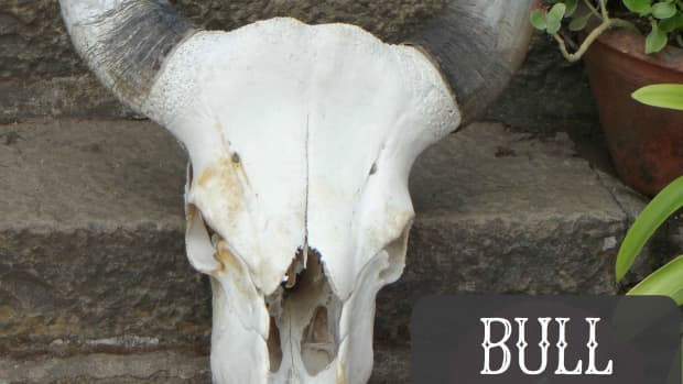 bull-skull-tattoos-and-designs-bull-skull-tattoo-meanings-ideas-and-pictures
