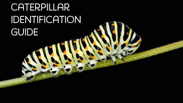 caterpillar-identification-2