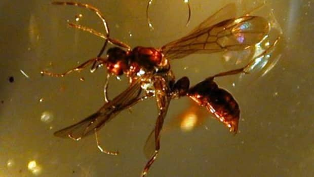Flying ant in amber.