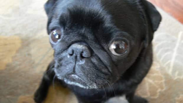 the-suffering-pug