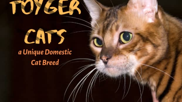 toygers-domestic-tiger-cats