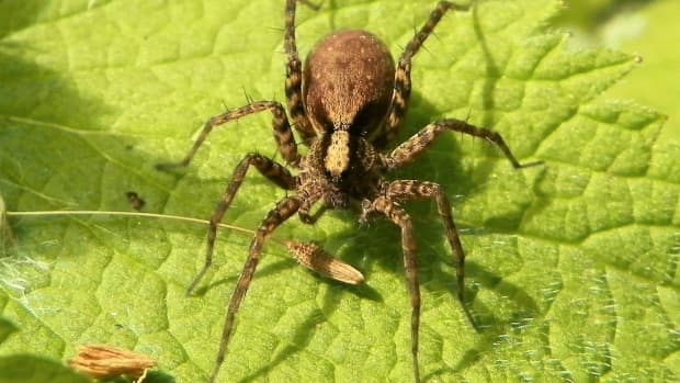 wolf-spider-facts-and-population-changes-in-the-warming-arctic