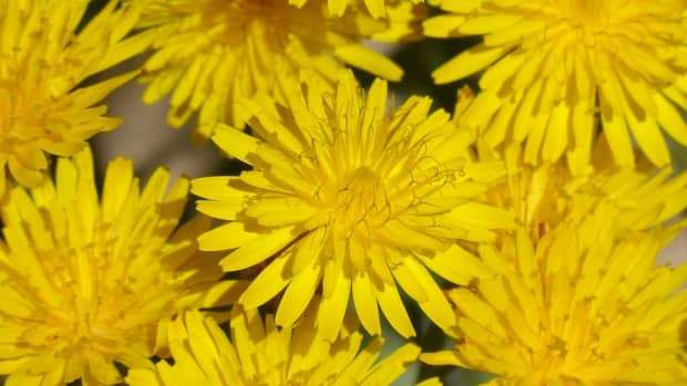 lessons-in-magical-herbalism-dandelion