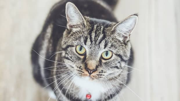 treatment-options-for-feline-cancer-include-chemotherapy-for-cats