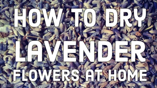 how-to-dry-lavender-yourself-for-use-at-home
