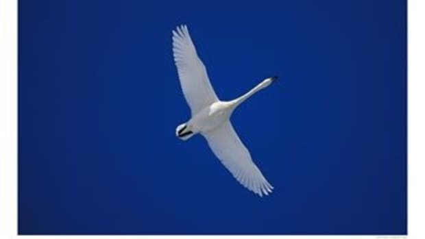 lao-folktales--the-magic-white-swan