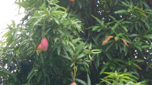 A real mango tree!