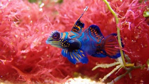 mandarin-fish