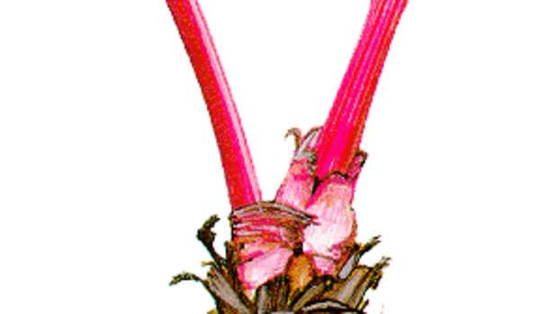 Courtesy of: http://www.cinnamonhearts.com/rhubarb.GIF