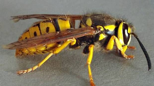 why-do-wasps-always-bother-people