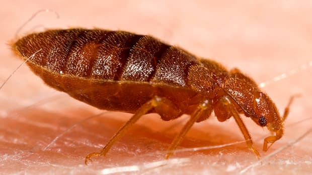 good-news-about-bed-bugs