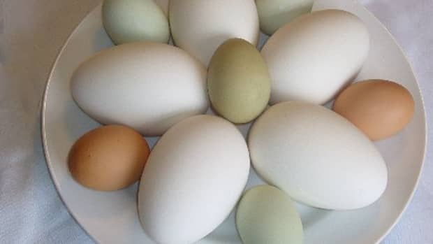 A mixed flock of eggs, a sure supply for all your breakfast and baking needs.  Courtesy of: http://eatlocalkc.typepad.com/photos/uncategorized/2007/03/20/eggs_2.jpg