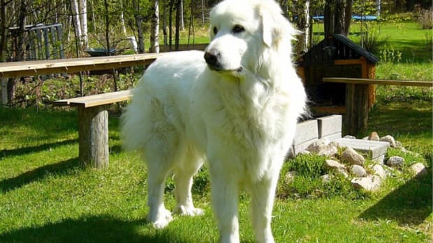 how-to-entertain-a-great-pyrenees-activities-for-great-pyrenees-dogs