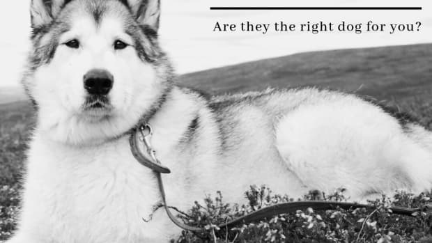 alaskan-malamute-right-dog-for-you