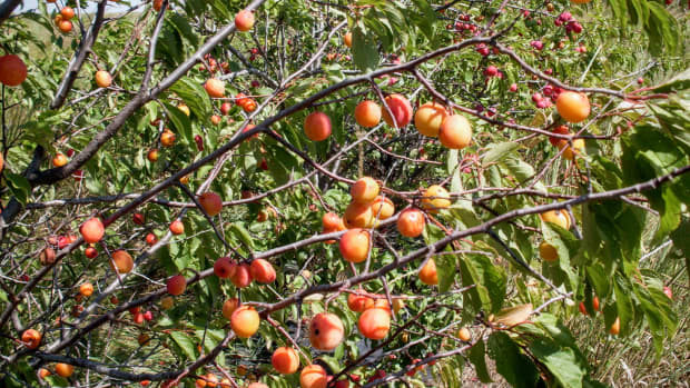 how-to-can-whole-wild-plums