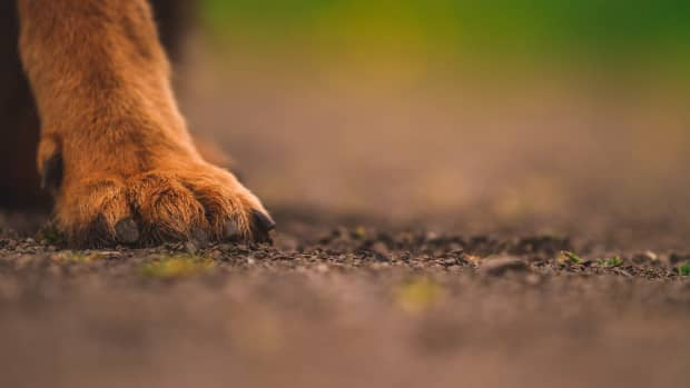 why-does-my-dog-have-extra-claws-on-their-hind-feet