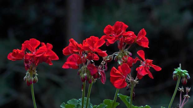 growing-geraniums