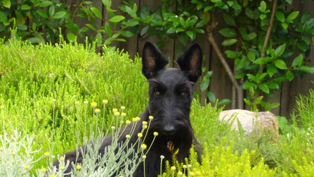Scottish terriers.  My current girl Isabel.