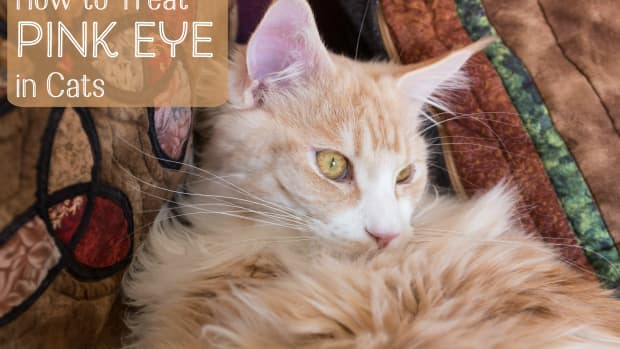 cat-eye-problems-and-the-treatment-of-pink-eye-or-conjunctivitis