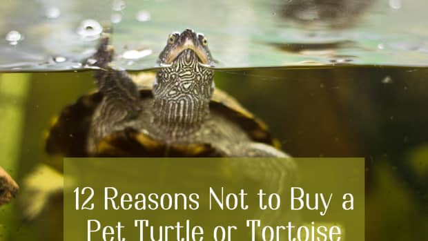 10-reason-not-to-buy-a-pet-turtle-or-tortoise
