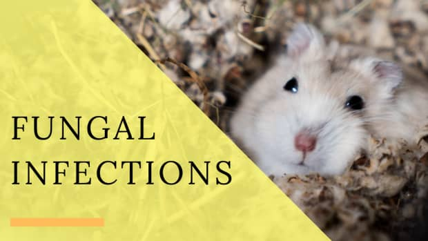 fungal-infection-hamsters