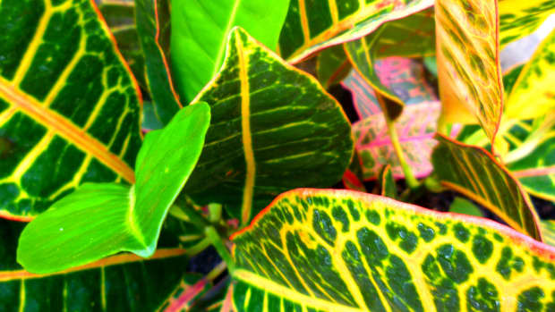 crotons-bright-dazzling-colors-for-the-garden-landscape