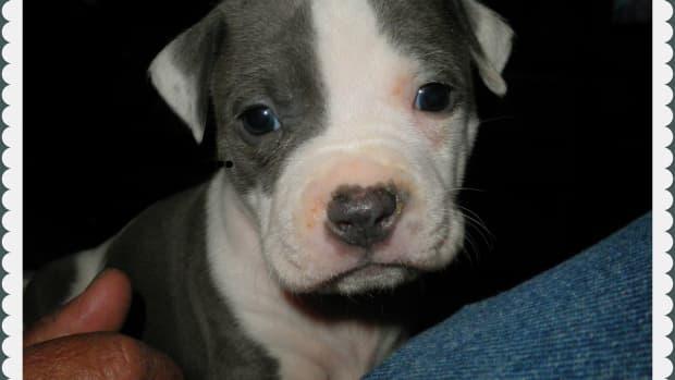 pitbullpuppiesanddogs