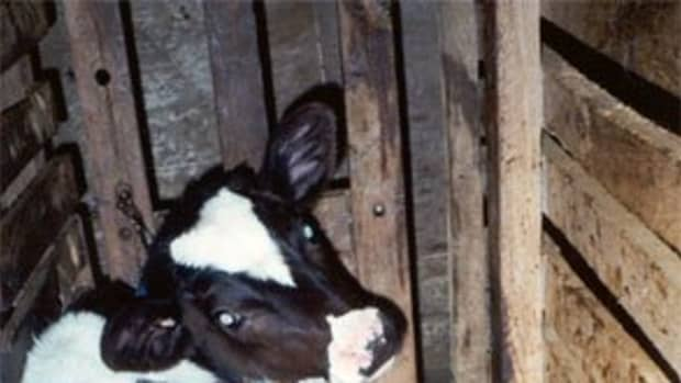 the-truth-about-veal