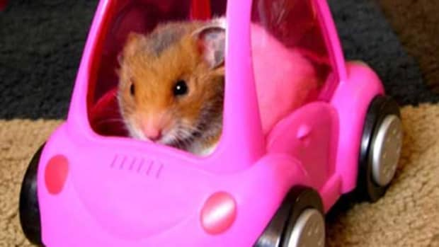 traveling-with-hamster