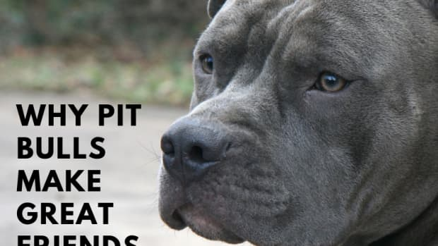 the-pit-bull-controversy-why-the-breed-deserves-a-second-chance