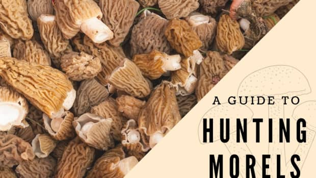 hunting-southern-oregon-morels