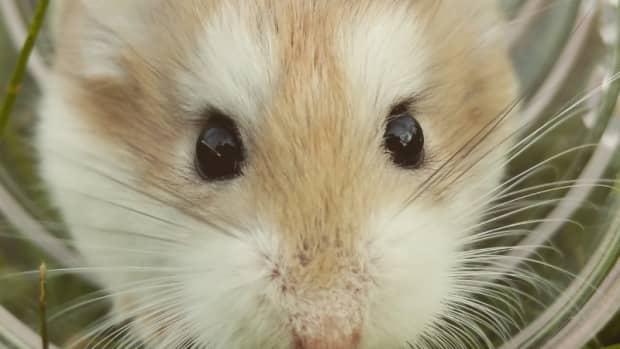 dwarf-hamsters-introducing-a-new-dwarf-to-a-dwarf-you-already-have