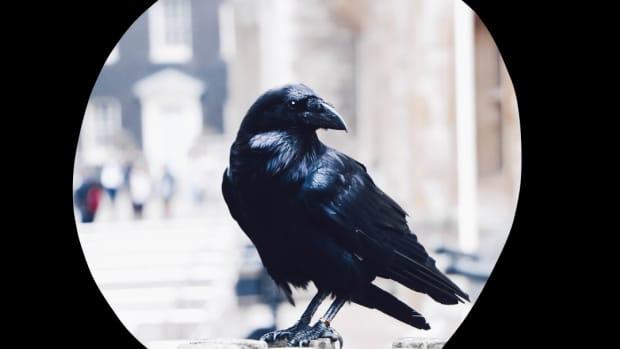 the-black-crow