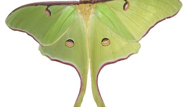lunar-moths