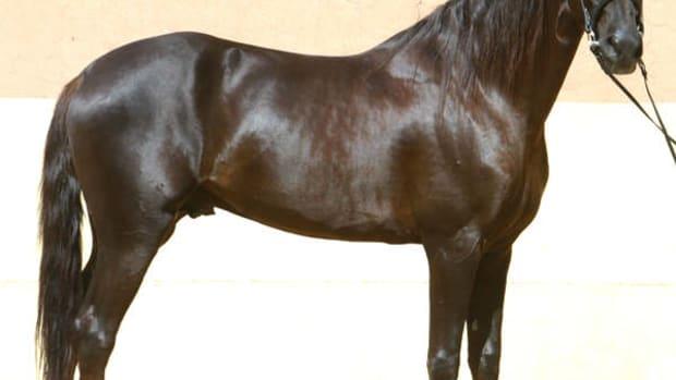 horses-in-india-the-native-marwari-horse