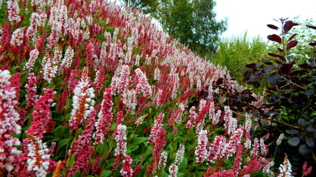 3-red-perennials-for-gorgeous-late-summer-and-fall-color