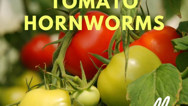 how-to-get-rid-of-tomato-hornworms-safely-and-naturally