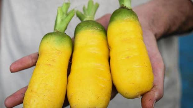 uzbec-golden-carrot