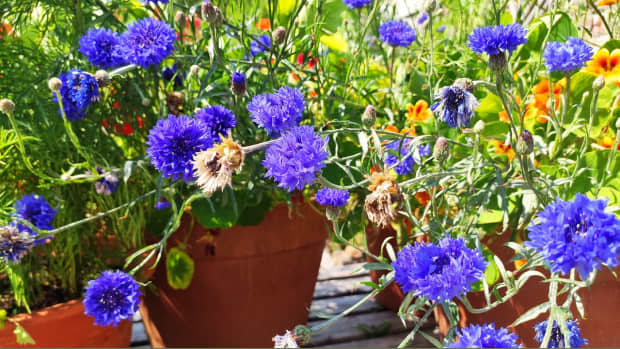 how-to-sow-cornflower-in-autumn-for-bigger-blooms-in-spring
