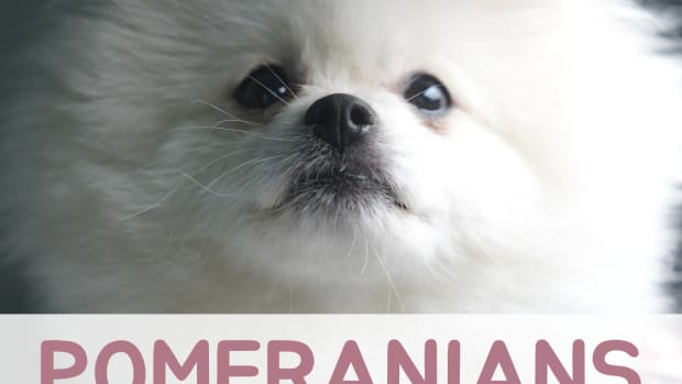 pomeranian-dog-breed-information-different-types-and-facts