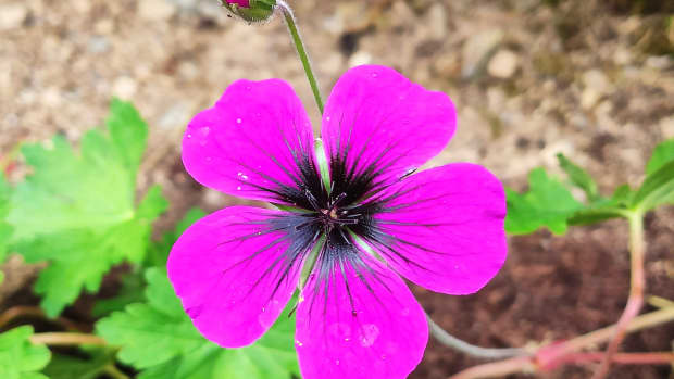 how-and-when-to-divide-a-garden-geranium-with-video-demo
