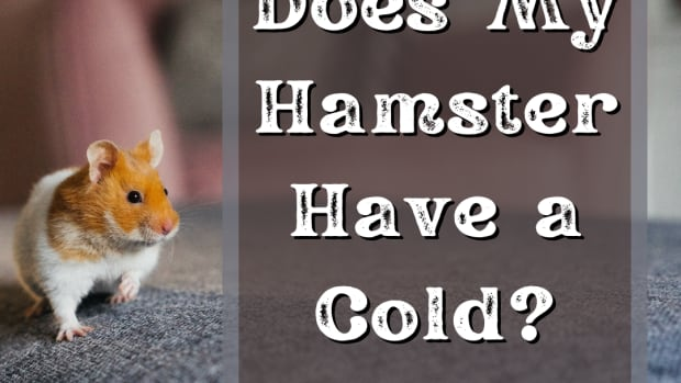 hamster-cold
