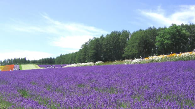 Lavender fields are a common site in this region of Southeastern France. [Photos this page, public domain.]
