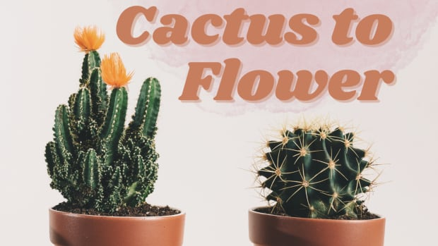 how-to-get-your-cactus-to-flower